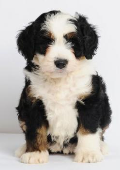 "Mini Bernedoodles - Bernese Mountain Dog & Poodle cross - 25-49 lbs. full grown & 15-20"" tall -- non-shedding I would like this!: Mini Bernedoodle, Bernese Mountain Dogs, Mixed Dog, Nonshedding Dog, Poodle Mix, Minibernedoodle, Animal"