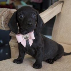 Mini Dachshund Puppy..over load on q t  just look at him.u can have whatever u want my angel.. I want u to take this pink neck tie off me.. I am a boy..oops..merry christmas doxie's of the world: Mini Dachshund, Dachshund Puppies, Black Dachshund, Dox
