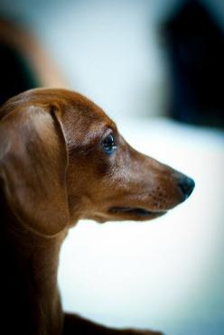 My Doxie used to look like this - he is now a white haired little old man.: Animals, Sweet, Red, Dogs, Doxi, Photo, Dachshund Profile, Mini Dachshunds