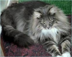 Norwegian Forest Cat - not as big as it's relatives but just as majestic: Forests, Animals, Norwegian Forest Cat, Search, Maine Coon, Creatures, Coon Cats, Coonnorwegian Forest
