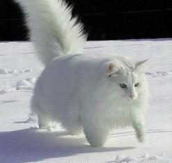 Norwegian Forest White Cat in Snow, what a looker!: Forests, Animals, Cute Cats, White Norwegian Forest Cat, White Cats, Snow, Kitty, Cats Mainecoons Forestcats