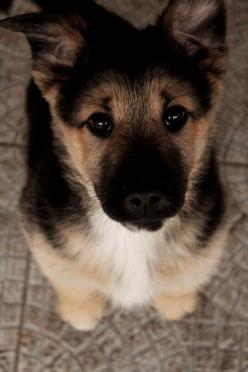 :O I want a German Shepard puppy so bad :(((( well just any puppy will do at this point!: Germanshepherd, German Shepards, Animals, Dogs, Puppys, German Shepherd Puppies, German Shepherds, Eye