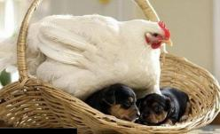 Oh dear, sweet Iris has decided to keep the new pups warm while mom is working.: Animals, Friends, Mothers, Dogs, Pet, Funny, Puppys, Hens