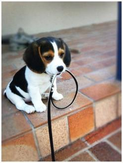 OMG, so sweet. We 'baby sat' for Homer yesterday. I bet he was the sweetest beagle puppy on earth but this one is a serious contender.: Beagle Puppy, Beagle Baby, Beagle Puppies, Perritos Adorables, Cute Puppies Beagle, Baby Animals Cute Puppies,