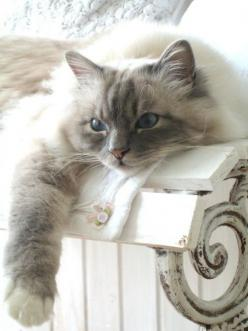 ooohhhh....would love to snuggle with this sweetie: Ragdoll Cat, Cats, Beautiful Cat, Kitten, Kitty Cat, Animals, Pet, Kitty Kitty, Chat