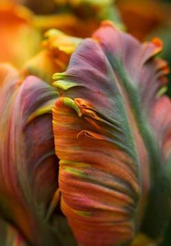 Parrot tulip 'Blumex': Rainbow Tulip, Parrot Tulips, Nature, Colors, Beautiful Color, Flowers, Garden, Parrottulip