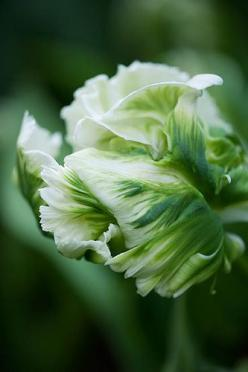 Parrot tulip 'super parrot': Tulip Super, Parrot Tulips, Parrots, Green Tulip, Beautiful Flowers, Green Flower, Garden