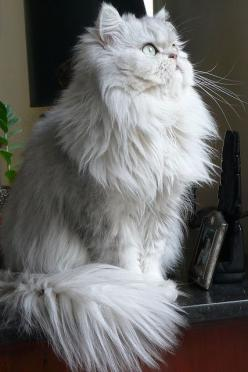 Persian - The Persian is perhaps the most widely recognized cat breed, known for its extremely long, fluffy coat, very stocky body type, large eyes, and flat face. Persians are available in a myriad of colors and patterns including the pointed pattern cal