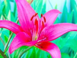 Pink Lily Flower (20 Seeds):