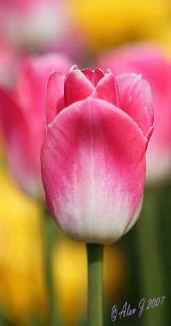 Pink tipped tulips: Flowers Gardening Etc, Flowers Bees Bugs, Beautiful Flowers, Art Flowers, Tipped Tulips, Pink Tipped, Flowers Gardening Landscape, Flowers Cacti, Flower Pink