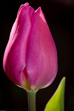 Pink Tulip: Pink Flowers, Fabulous Flowers, Gift, Flower S Black, Tulip Festival, Life Tulip, Flower Power, Yellow Tulip, Pink Tulips