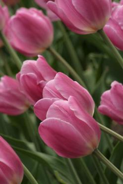 Pink Tulips: Photos, Gardening Flowers Trees, Planting Flowers Gardening, Tulips Tulips, Tulipanes Tulips, Beautiful Tulips, Pink Tulips