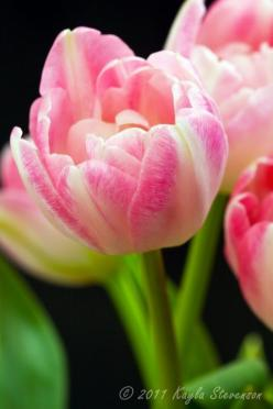 Pink Tulips: Tulips Luv Tulips, Flickr, Bellos Tulipanes, Special Tulips, Tulips Project, Painting Tulips, Pink Tulips
