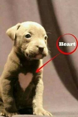 #pitbulllove #pitbulls #pitbull: Animals, Dogs, Pet, Puppys, Funny Animal, Valentine