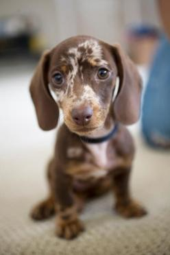 possibly the sweetest chocolate ever  what the heck so cute so cute I can't spell kisses and cuddles my sweet one www.capemaydogs.com: Face, Sweet, Dogs Ever Doxies, Dachshund, Pet, Puppy, Baby, Animals And Doxies