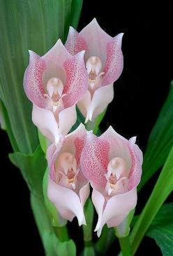 Praying Angels Orchids: Angels Orchid, Nature, Praying Angels, Orchids, Beautiful Flowers, Angel Orchid, Flowers, Garden