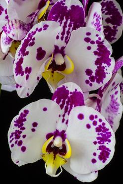 ✯ Purple And White Phaleanopsis  Orchids: White Orchids, Orchids, Beautiful Flowers, Flowers Orchids, Flower Orchids, Phaleanopsis Orchids, Purple White, Orquidea