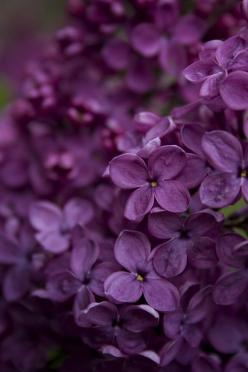 Purple Flowers: Purple Flowers, Purple Passion, Color Purple, Things Purple, Garden, Purple Lilacs, Favorite Flower