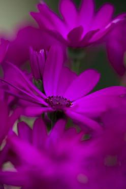 Purple Osteopermum  By Hideaki Yoshida: Flowers And Butterflys, Flowers 3, Purple Flowers, Flowers Photos, Beautiful Flowers, Flowers Fragance Beauty Color, Flower