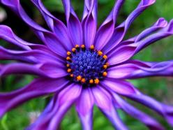 Purple Osteospermum or African Daisy: Nature, Color, Purple Flowers, Purple Passion, African Daisy, Beautiful Flowers, Garden, Flower Photography, Flower