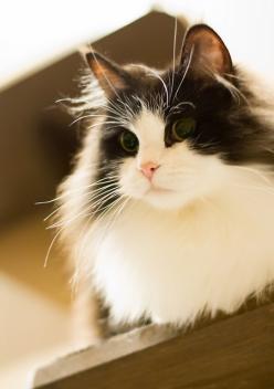 Ramu the Ragamuffin cat. I wants a kitty like dis one! Sooo fluffy: Kitty Cats, Kitten, Animals, Beautiful Cats, Kitty Kitty, Feline, Eye