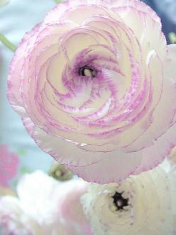 Ranunculus Picotee, a Peony-like flowerswith a lavender pink edge: Rose, Ranunculus Picotee, Color, Lavender Pink, Beautiful Flowers, Pretty Flowers, Bloom, Pink Edge, Garden