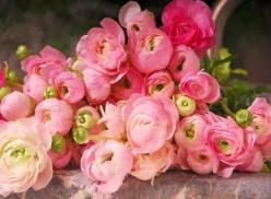 ranunculus - These flowers are under-appreciated...I love its whimsical quality...wish I had used these for my wedding: Pink Flower, Wedding Ideas, Wedding Flowers, Pink Ranunculus, Beautiful Flowers, Bloom, Garden, Floral, Favorite Flower