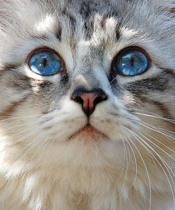 Repinned with Flow for Pinterest iPad App. FREE at http://www.thecalderonenterprises.com: Kitty Cats, Kitten, Animals, Beautiful Blue, Cat Eyes, Blue Eyes, Kitty Kitty