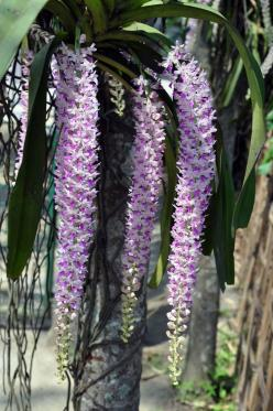 Rhy. gigantea var. petoniana orchid. Rhynchostylis gigantea is native to Burma, Indochina, China, Malaysia, Borneo, and the Philippines. Rhynchostylis species are commonly known as the foxtail orchids because of the erect or pendulous inflorescence of den