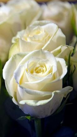 rose_white_flower_bud_close-up_62228_640x1136 | Flickr - Photo Sharing!                    rose: Beautiful Flower, White Flower, Beautiful Roses, 62228 640X1136, White Roses, Bud Close, Rose White, Rose Garden