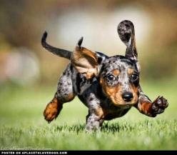 Running Puppy Funny Pictures   FanPhobia - Celebrities Database: Animals, Puppies, Dogs, Dapple Dachshund, Pets, Doxies, Puppy
