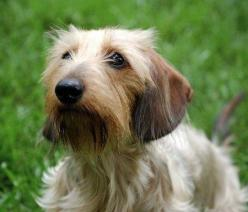 Sadie the Wirehaired Dachshund: Wirehair Doxie, Perfect Puppy, Hair Dachshund, Wire Hair, Doxie Crazy