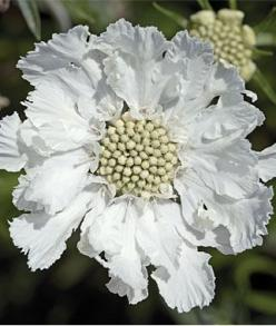 """Scabiosa, Fama White  Incredible, unstoppable summer bloomer.   Fama's White's perfectly white 3-4"""" """"pincushion"""" flowers embellish tall sturdy stems, floating serenely 20"""" above the silvery-blue foliage. Great in vases. Very hardy, from zone 4"""