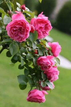 Seems as though I should be able to smell the awesome fragrance of these beautiful roses!: Pink Roses, Floribunda Rose, Gardens, Beautiful Flowers, Leonardo Da Vinci, Pink, Rose Garden, Beautiful Rose