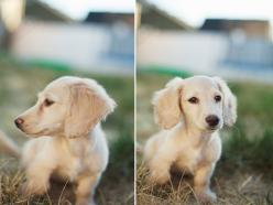 *SHHH* I'm secretly on the hunt for one of these to surprise my hubby who's been BEGGING for a 2nd dog. An english cream dachshund =): Long Haired Dachshund, English Cream Mini Dachshund, Animals Sweetness, Cream Doxie, Precious Animals, English C