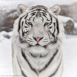 {siberian white tigers}: White Tigers, Wild, Animals, Big Cats, Siberian Tiger, Quote, Bigcats, Beautiful, Whitetigers
