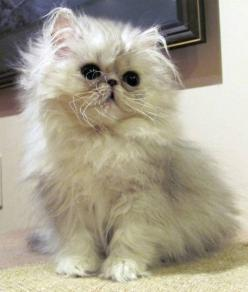 Silver Persian Kitten. So Adorable: Cat They Re, Sweet, Cutenes, Animals Cats Domestic, Pretty Baby, Beautiful Cutecats, Persian Cats, Cats Love