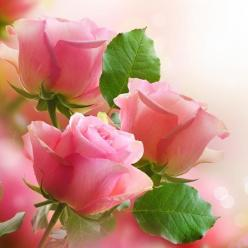 simply lovely pink roses: Pink Roses, Nature, Beautiful Flowers, Things, Flowers, Garden, Photo, Pretty Flower