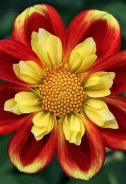 Single-flowering and Collarette Dahlias are popular bee plants that bloom all summer, so they're always on-call to support these precious pollinators.: Color, Dahlias, Pretty Flowers, Beautiful Flowers, Bloom, Garden