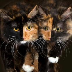 sisters ~ Calico kitties: Twin, Animals, Pet, Beautiful, Chimera Cats, Kitty Kitty, Mirror Image, Kittens, Kitties