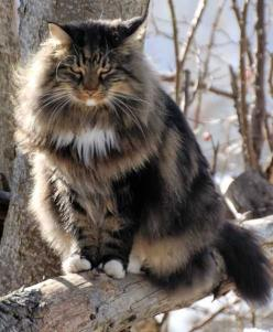 Skogkatt = Norwegian Forest Cat A Norwegian forest cat The Norwegian forest cat is a popular breed of domestic cat found in europe and several cold areas,they are specially adapted for cold weather with soft long furry body,they have extra long fur around