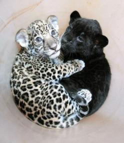 So cute! They love cuddles too! <3: Babies, Big Cats, Baby Jaguar, So Cute, Pet, Baby Panther, Baby Animals, Baby Leopard