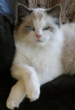 so pretty :): Kitty Cats, Ragdoll Cats, Animals, Beautiful Cats, Pretty Cat, Kitty Kitty, Feline, Eye
