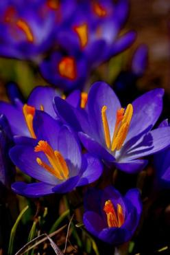 Spring Garden Royalty - Crocuses: Flowers Gardens, Spring Gardens, Flores Flowers, Color, Flowers Plants, Flower Gardens, Floral Photos
