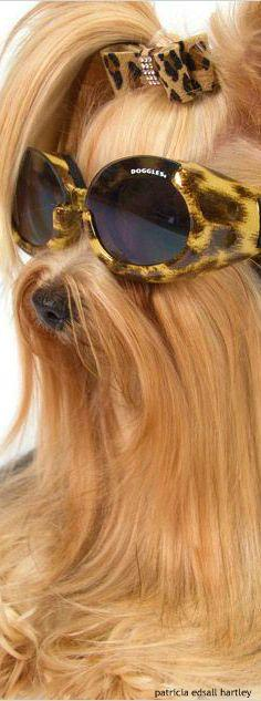 Stylish Cool Close to you,RayBan,just$12.99! More styles waiting for you!: Fixing Photos, Luv Yorkies, Cousin, Posh Pets, Amazing Animals, Yorkie Dogs