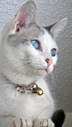 Such a beautiful cat! Lovely blue eyes ♥: Cats, Kitty Cats, Animals, Beautiful Blue, Beautiful Cats, Blue Eyes, Photo