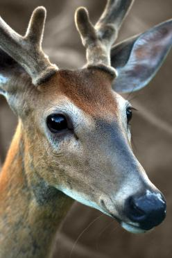 Sweet Face posted by Tree Candy via etsy.com: Deer Photo, Sweet, Beautiful Animal, Velvety Antlers, Eye