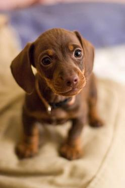 teacup dauchsund: Mini Dachshund, Animals, Sweet, Dogs, Dachshund Puppies, Pet, Puppys, Doxies, Baby