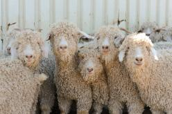 Texan Angora goats, Quince & Co's mohair source for dreamy laceweight Piper: Sheep Goats, Lamb Sheep Goat Photos, Knitting, Mohair Goats, Animals Goats, Sheep, Goats Quince, Angora Goats