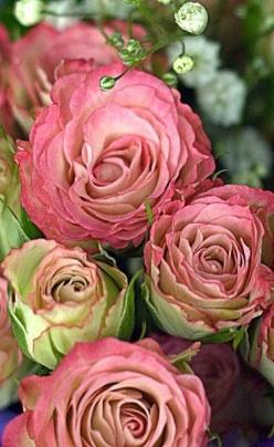 Thank you to the kind and wonderful friends who help me by pinning and following me. I am still here thanks to youl ! Peace, love and many blessings, Bella Donna xo: English Roses, Beautiful Roses, Rose Garden, Pink Rose